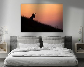Gaemse ( Rupicapra rupicapra ) ruht in zarter Abendröte in einer Bergwiese von wunderbare Erde