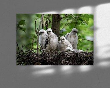 Sperber ( Accipiter nisus ), Jungvögel, fünf Küken im Nest, Greifvögel, Tierkinder, wildlife, Deutsc von wunderbare Erde