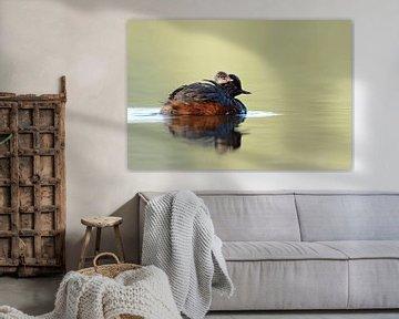 Schwarzhalstaucher ( Podiceps nigricollis ) im Prachtkleid / Sommerkleid, schwimmt mit Küken auf dem sur wunderbare Erde