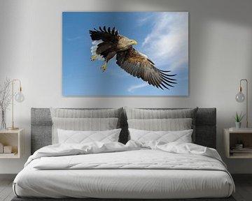 Seeadler ( Haliaeetus albicilla ), beeindruckender Altvogel im Flug gegen blauen Himmel kurz vor de von wunderbare Erde