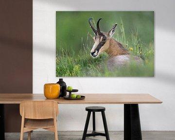 Gaemse ( Rupicapra rupicapra ) liegt, ruht im Gras einer Bergwiese, schaut sich um von wunderbare Erde