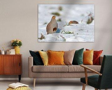 Rebhuhn ( Perdix perdix ) im  Winter, steht aufgerichtet im Schnee, seltener Anblick, Rebhühner, wil von wunderbare Erde