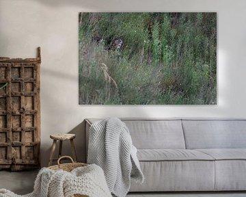 Europaeischer Uhu ( Bubo bubo ) verborgen, versteckt, im Tagesversteck zwischen hohen Gräsern von wunderbare Erde