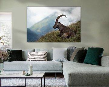 Alpensteinbock, Steinbock ( Capra ibex ) in den Schweizer Alpen, ruht im Gras in wunderschöner, wild von wunderbare Erde