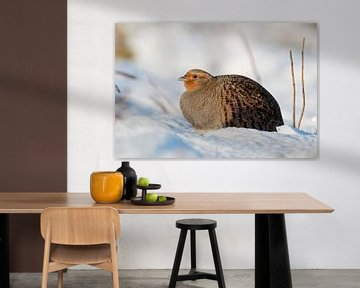 Rebhuhn ( Perdix perdix ) sitzt im Schnee, sonniger Wintertag von wunderbare Erde
