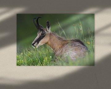Gaemse ( Rupicapra rupicapra ) liegt, ruht im Gras einer Bergwiese, frisst Gras, käut wieder von wunderbare Erde