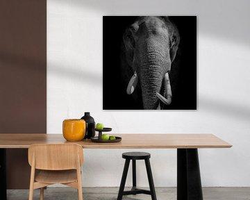 Olifant met slagtanden kijkt direct in de camera op een zwarte achtergrond bekijken van Sjoerd van der Wal
