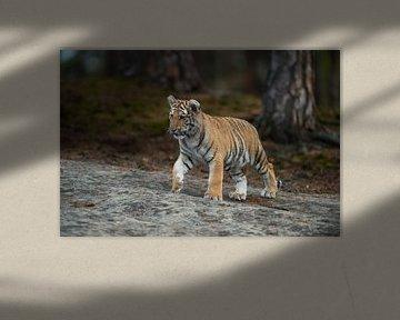Koenigstiger ( Panthera tigris ), Jungtier in natürlicher Umgebung, Katzenkinder, Tierkinder von wunderbare Erde