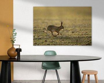 Feldhase ( Lepus europaeus ) im frühen Morgenlicht rennt über ein Feld von wunderbare Erde