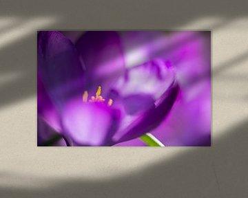 De krokus, de eerste lentebloeier van Gerry van Roosmalen