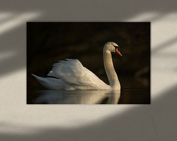 Hoeckerschwan ( Cygnus olor ) in besonderem Licht und mit eleganter Haltung, Seitenansicht von wunderbare Erde