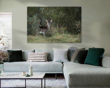 Damhirsch ( Dama dama ), Kahlwild, Weibchen, steht versteckt zwischen Büschen und beobachtet aufmerk von wunderbare Erde