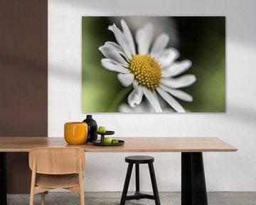 Blume VI - Gänseblümchen van Michael Schulz-Dostal