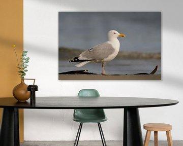 European Herring Gull ( Larus argentatus ) , huge adult, standing on the beach close to the shorelin van wunderbare Erde