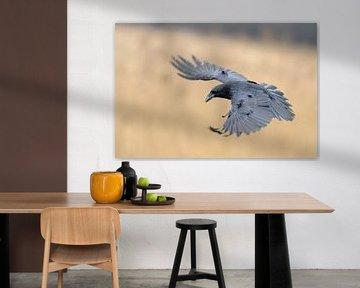 Kolkrabe ( Corvus corax ) im Flug, weit geöffnete, ausgebreitete Schwingen von wunderbare Erde