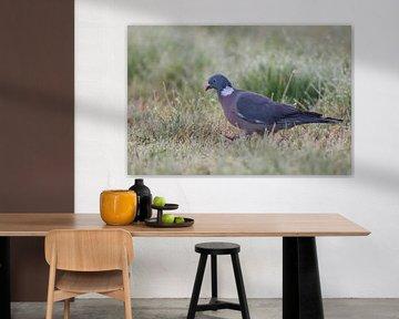 Wood Pigeon ( Columba palumbus ) on the ground, walking  through dew wet grass searching for food, e van wunderbare Erde