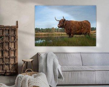 Impressive Highland cattle ( Bos primigenius taurus ) in natural habitat, moor, moorland, marshland, van wunderbare Erde