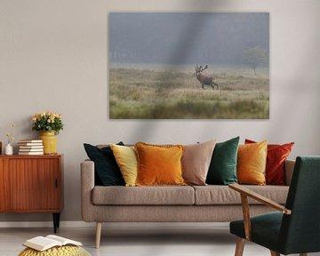 Red Deer ( Cervus elaphus ), old stag, walks over wide open grasslands, looks back for a moment, mis van wunderbare Erde