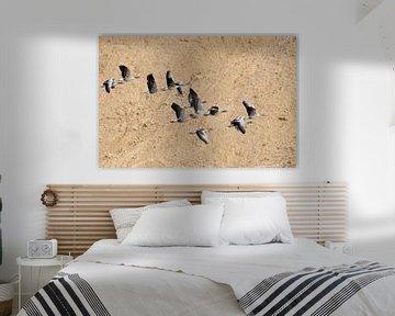 Graugänse ( Anser anser ), Trupp im Flug vor einer Wand aus Sand, Sandgrube von wunderbare Erde