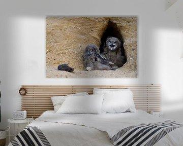 Europaeische Uhus ( Bubo bubo ), zwei Jungvögel am Eingang zu ihrer Nisthöhle schauen auf die Reste  von wunderbare Erde