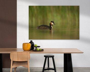 Haubentaucher ( Podiceps cristatus ) im Frühjahr, schwimmend vor grünem Schilf auf einem See, Frühli von wunderbare Erde
