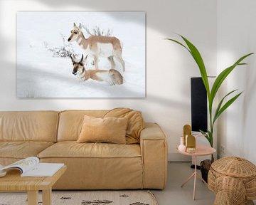 Gabelboecke ( Antilocapra americana ) / Gabelantilopen, Paar, Pärchen im Schnee, männlich und weibli von wunderbare Erde