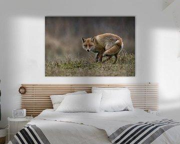 Fuchs ( Vulpes vulpes ), Farbe ind Farbe mit der Umgebung, wendet sich auf einer kleinen Anhöhe um von wunderbare Erde