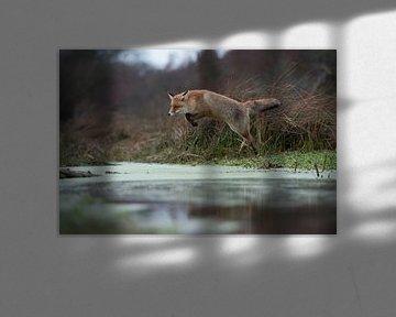 Rotfuchs ( Vulpes vulpes ) in weitem, hohem Sprung über ein Gewässer von wunderbare Erde