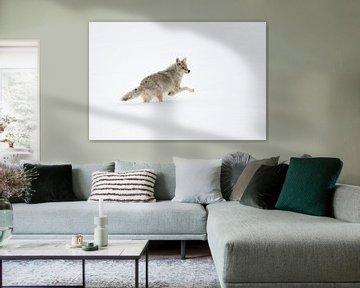Kojote ( Canis latrans ) im Winter, flüchtet, springt durch hohen Schnee, Yellowstone NP, USA von wunderbare Erde