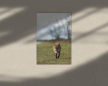 Rotfuchs ( Vulpes vulpes ) in typischer Umgebung, kommt näher, frontale Aufnahme von wunderbare Erde