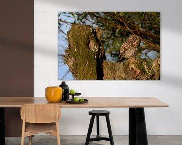 Steinkauz ( Athene noctua ) , Jungvogel sitzt in der Sonne in einer Kopfweide, schreit lauthals, wil sur wunderbare Erde