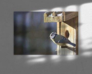 Koolmees bij vogelhuis, wachten op de lente van Dennis Weggelaar