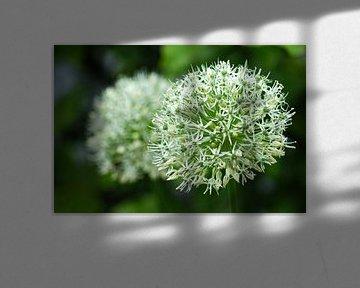 Witte Allium in bloei van Jeroen van Deel