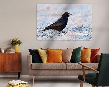 Rabenkraehe ( Corvus corone ) im Winter, sittz auf einer gefrorenen, mit Raureif überzogenen Wiese von wunderbare Erde