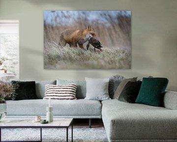Rotfuchs ( Vulpes vulpes ) bei der Jagd im Schilf, hält eine Ente im Fang von wunderbare Erde