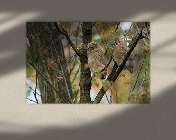 Waldkauz ( Strix aluco ), zwei Jungvögel sitzen gut getarnt nebeneinander im Baum und schlafen, Tier von wunderbare Erde