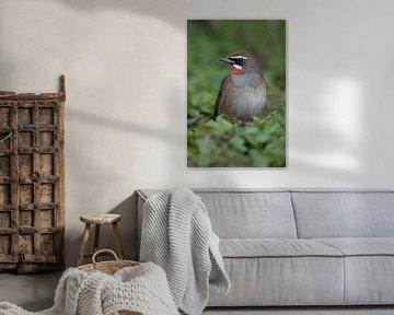 Rubinkehlchen ( Luscinia calliope ), Ausnahmeerscheinung in den Niederlanden, seltener Singvogel, Vo von wunderbare Erde