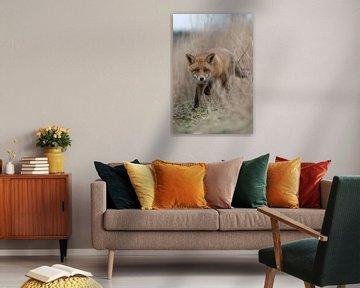 Rotfuchs ( Vulpes vulpes ), verschlagener Fuchs, läuft durch Schilf neugierig auf die Kamera zu von wunderbare Erde