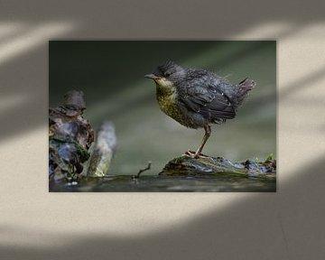 Wasseramsel ( Cinclus cinclus ), flügger Jungvogel sitzt, steht auf einem Stein im Wasser und wartet von wunderbare Erde