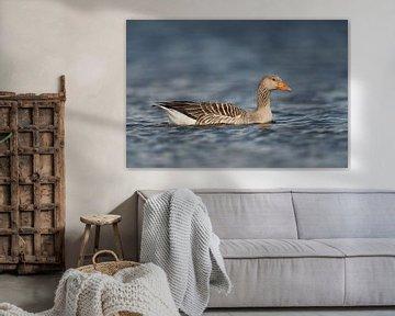 Graugans ( Anser anser ) schwimmt, seitliche Ansicht, tiefe Perspektive von wunderbare Erde