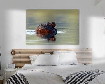 Schwarzhalstaucher ( Podiceps nigricollis ) fährt einen Jungvogel auf dem Rücken spazieren, hudert K sur wunderbare Erde