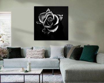 Rose zwart-wit beeld van Falko Follert