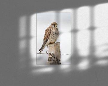Kestrel ( Falco tinnunculus ), female adult in winter, perched on top of a fence post, resting, watc van wunderbare Erde
