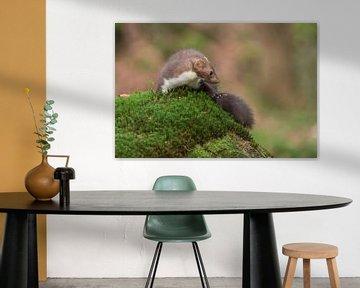 Beech Marten / Stone Marten ( Martes foina ) turning around on a moss cushion in an autumnal coloure van wunderbare Erde