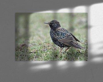 Common Starling ( Sturnus vulgaris ) in winter, beautiful and typical songbird, sitting / standing i van wunderbare Erde