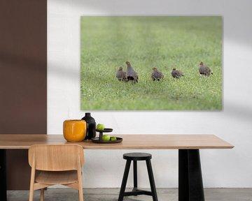 Grey Partridges ( Perdix perdix ), flock, shy little group walking over a green field of winter whea van wunderbare Erde