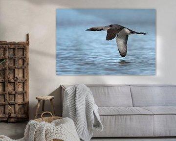 Black-throated Loon / Arctic Loon ( Gavia arctica ), in flight, flying close above water surface, si van wunderbare Erde