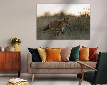 Rotfuchs ( Vulpes vulpes ) läuft in der Dämmerung durch hohes Gras, herbstliches, weiches und warmes van wunderbare Erde
