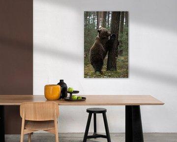 European Brown Bear ( Ursus arctos ), playful young cub, standing on hind legs, licking its paw, loo van wunderbare Erde