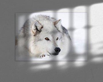Wolf ( Canis lupus) im Winter, liegt, ruht im Schnee, bernsteinfarbene wunderschöne Augen, helles Fe von wunderbare Erde